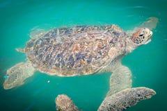 Giant sea turtle swimming Stock Photo