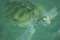 Giant sea turtle is swimming in a  turtle conservation tank. Stock Photo