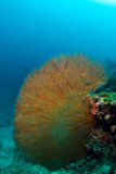 Giant seafan  in Sipadan, Malaysia Royalty Free Stock Images