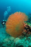 Giant seafan  in Sipadan, Malaysia Stock Photo