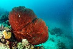 Giant seafan underwater in Sipadan Royalty Free Stock Images