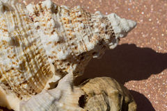 Giant Seashell Macro Stock Photos