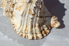 Giant Seashell Macro Royalty Free Stock Image