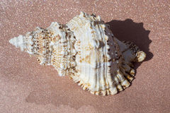 Giant Seashell Macro Stock Images