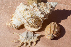 Giant Seashell Macro Royalty Free Stock Photos