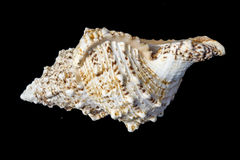 Giant Seashell Macro Stock Photo