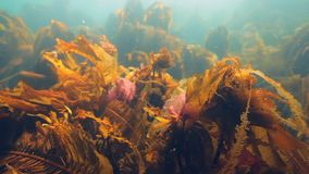 Giant seaweed kelp underwater in reflection of sunlight of Barents Sea Russia. Diving in cold water on background of blue lagoon. Relax video about marine stock video