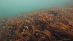 Giant seaweed underwater on seabed of Barents Sea. Nature in clean transparent cold water. Wildlife on background of blue marine in Arctic ocean stock video footage