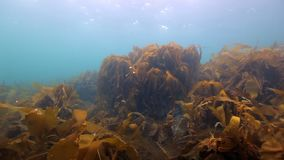 Giant seaweed underwater on seabed of Barents Sea. Nature in clean transparent cold water. Wildlife on background of blue marine in Arctic ocean stock video