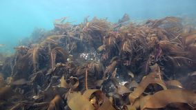 Giant seaweed underwater on seabed of Barents Sea. Nature in clean transparent cold wtaer. Wildlife on background of blue marine in Arctic ocean stock video footage