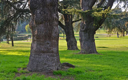 Giant secular  witches trees. Three giants secular trees in a park of rome Stock Photos