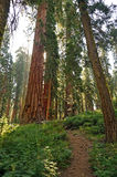 Giant Seqoias in Mariposa Grove. A pathway leads to a giant sequoia tree in the Mariposa Grove area of Yosemite National Park in California stock images