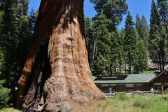 Giant Seqouia trees in Sequoia National Park Royalty Free Stock Photography