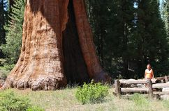 Giant Seqouia trees in Sequoia National Park Royalty Free Stock Image