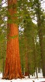 Giant Sequoia 102 Stock Photos