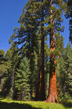 Giant Sequoia. A photo of a giant sequoia in Mariposa Grove, Yosemite National Park Stock Image