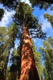The Giant Sequoia Stock Photos