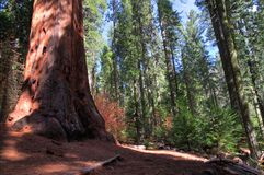 A Giant Sequoia Stock Photography