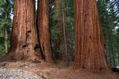Giant Sequoia. Close Up of Small Grove of Giant Sequoia Trees Stock Photos