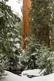 Giant Sequoia. Vertical Composition of Single Giant Sequoia Among Green Coniferous Trees in Winter Royalty Free Stock Images
