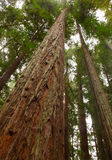 Giant Sequoia Stock Photo