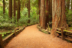 Giant Sequoia. Small footpath in sequoia forest Stock Images