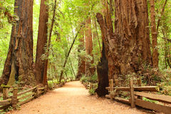 Giant Sequoia. Small footpath in sequoia forest Royalty Free Stock Image