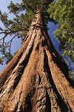 Giant Sequoia Royalty Free Stock Photos