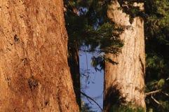 Giant Sequoia Royalty Free Stock Image