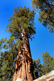 Giant Sequoia. In Kings Canyon Nationa Park Stock Photo