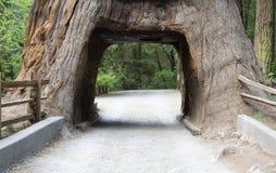 Giant Sequoia Royalty Free Stock Photo