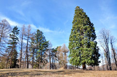 Giant sequoia Royalty Free Stock Photos