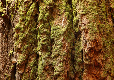 Giant Sequoia bark Royalty Free Stock Photos
