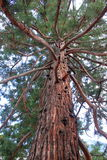Giant Sequoia Royalty Free Stock Images