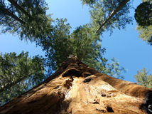 Giant sequoia with burn scars Royalty Free Stock Photography