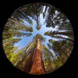 Giant Sequoia Fisheye Royalty Free Stock Images