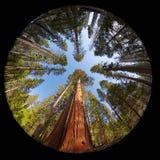 Giant Sequoia Fisheye. Fisheye view of the Giant Sequoia Trees in Mariposa Grove, Yosemite National park, California, USA Royalty Free Stock Images
