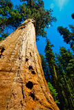 Giant Sequoia Forest. A Giant Sequoia Tree towers above the forest Royalty Free Stock Photo