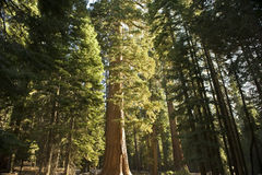 The Giant Sequoia Forest. A giant Sequoia tree stand taller and higher than everything around it in Yosemite National Park stock photography
