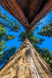 Giant sequoia forest - the largest trees on Earth in Sequoia National Park, California, USA stock photography
