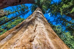 Giant sequoia forest - the largest trees on Earth in Sequoia National Park, California, USA stock photo