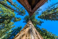 Giant sequoia forest - the largest trees on Earth in Sequoia National Park, California, USA stock photos