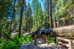 Giant sequoia forest - the largest trees on Earth in Sequoia National Park, California, USA royalty free stock image