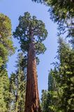 Giant Sequoia in the Grant Grove Stock Photography