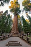 Giant Sequoia General Sherman in Sequoia National park Stock Photo