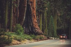 Giant Sequoia Generals Highway. Giant Sequoia and the Generals Highway. Sequoia National Park and Forest. Kings Canyon. California, United States of America Stock Images
