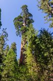 Giant Sequoia in the Grant Grove Royalty Free Stock Photos