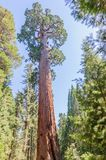 Giant Sequoia in the Grant Grove Stock Images