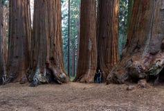 Giant sequoia grove Stock Photo