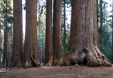 Giant sequoia grove stock photos